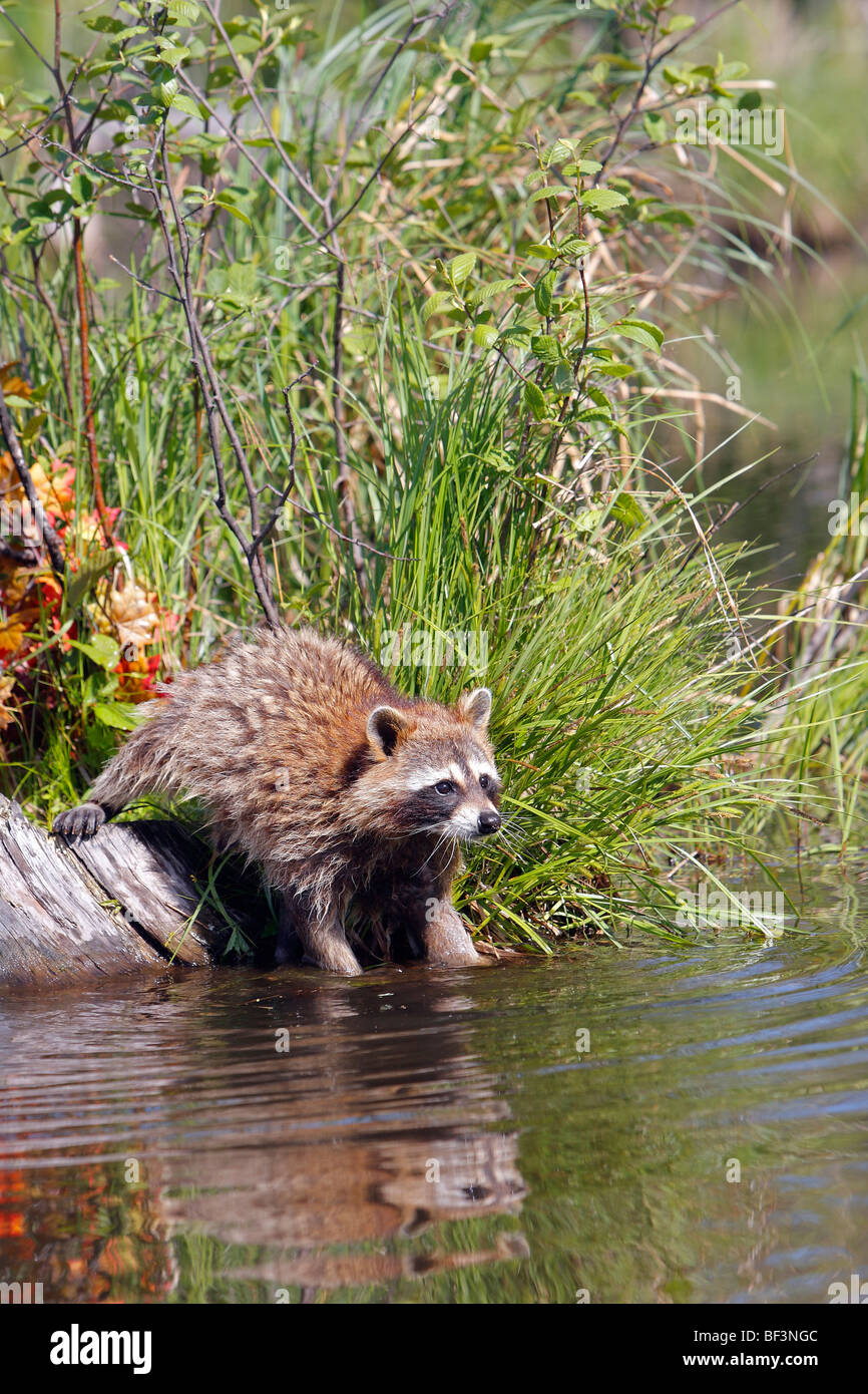Raccoon (Procyon lotor) washing food in water. - Stock Image