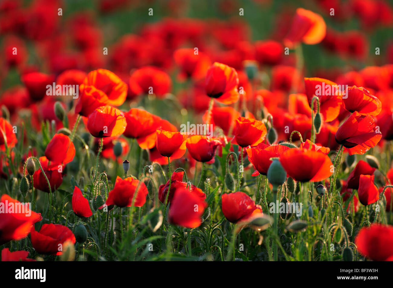 Poppy wild flowers red poppies red green nature environment poppy fields - Stock Image