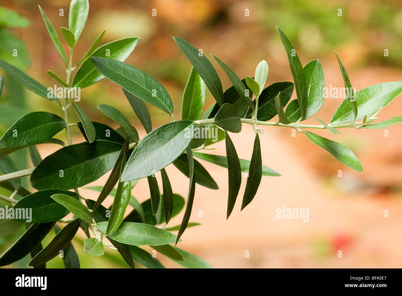 Olive Tree Leaves Close Up Stock Photo 26518415 Alamy