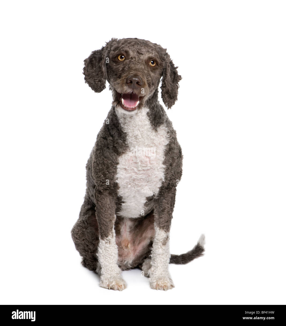 Spanish water spaniel dog, 3 years old, sitting in front of white background, studio shot - Stock Image