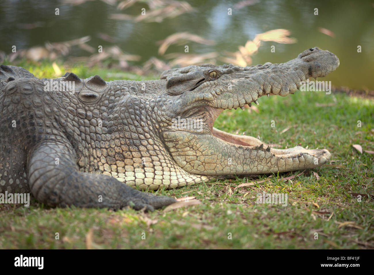 A salt water crocodile resting on a large embankment. - Stock Image