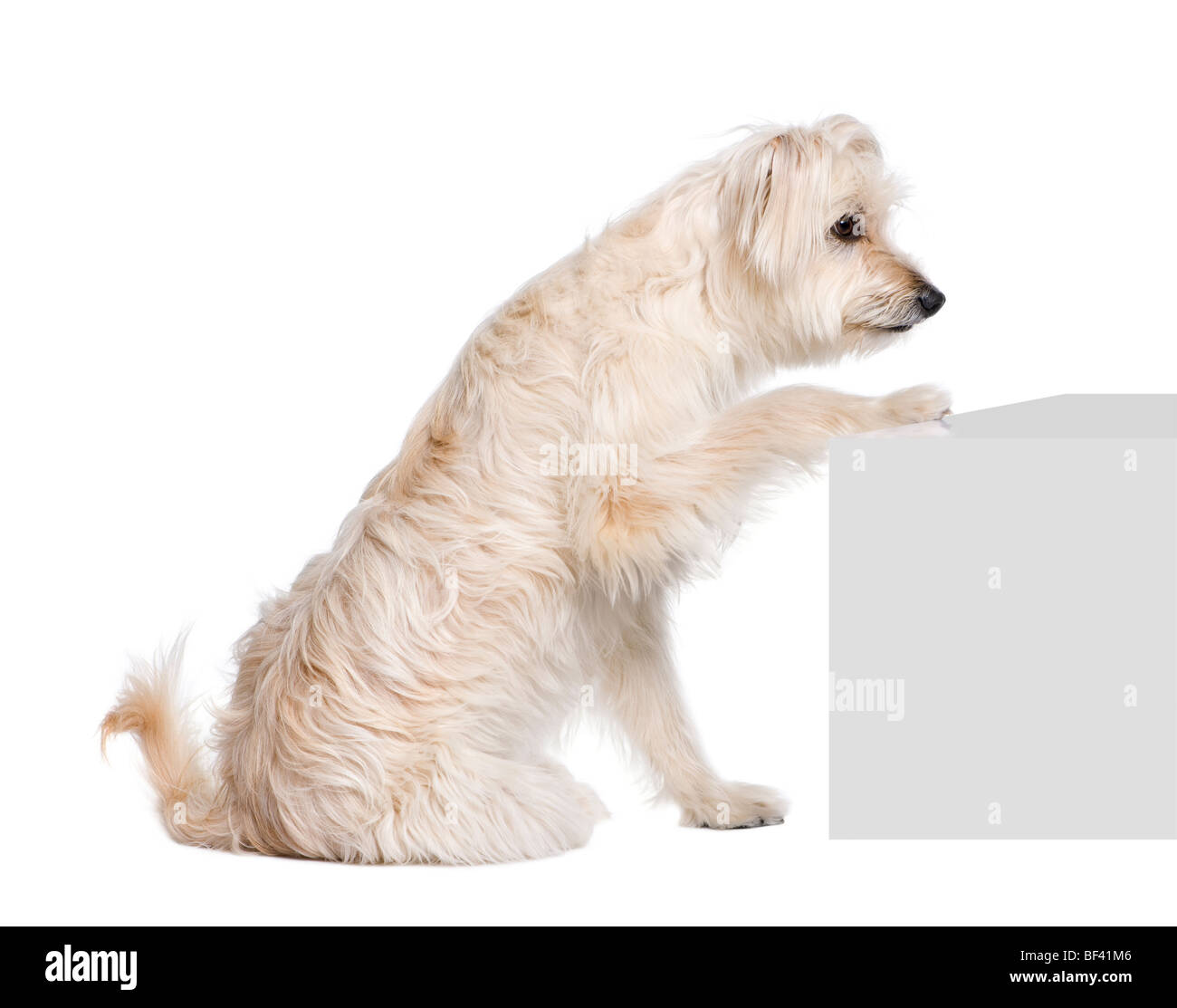 Pyrenean Shepherd, 2 years old, sitting near pedestal in front of white background, studio shot - Stock Image