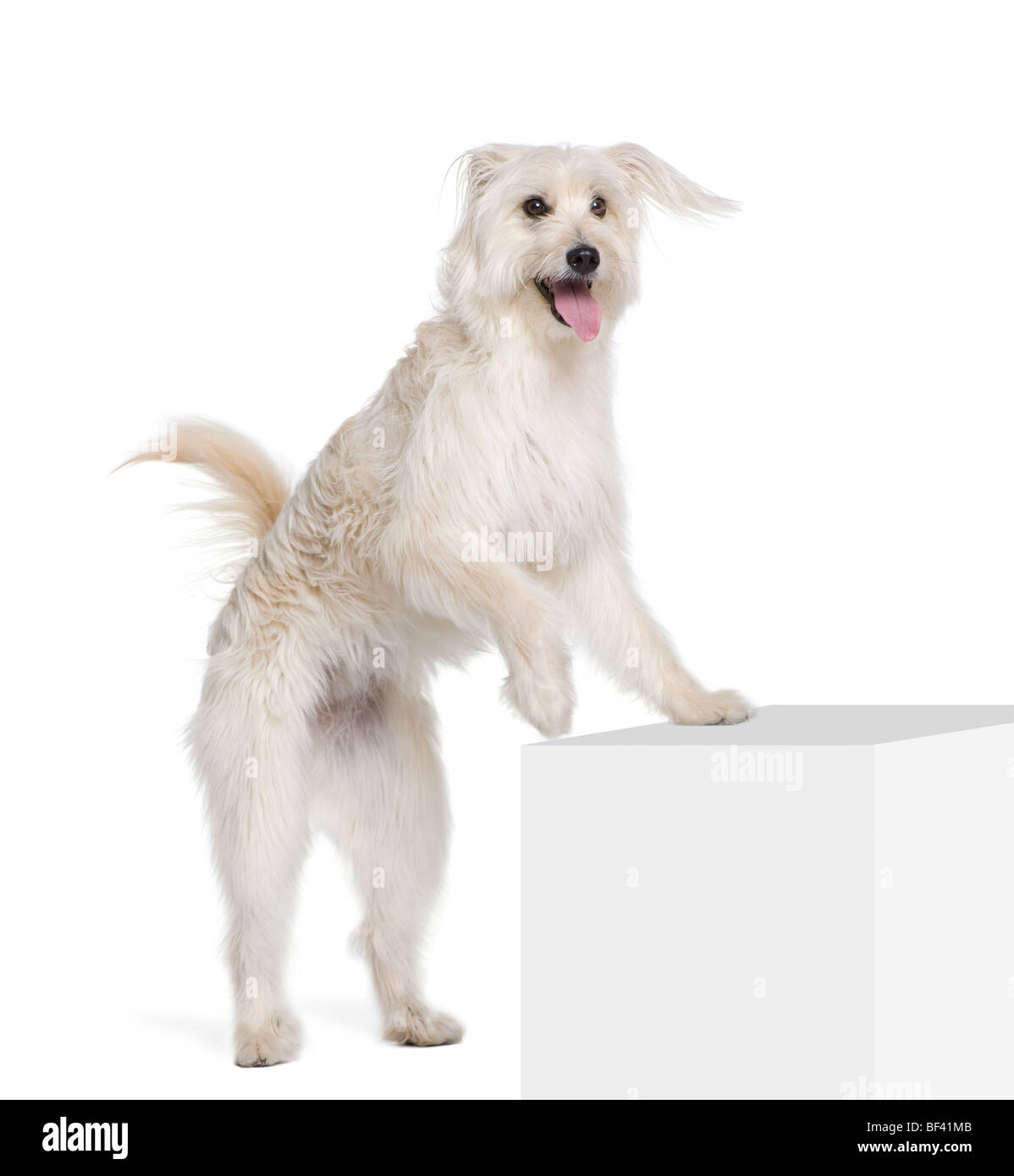 Pyrenean Shepherd, 2 years old, standing near pedestal in front of white background, studio shot - Stock Image