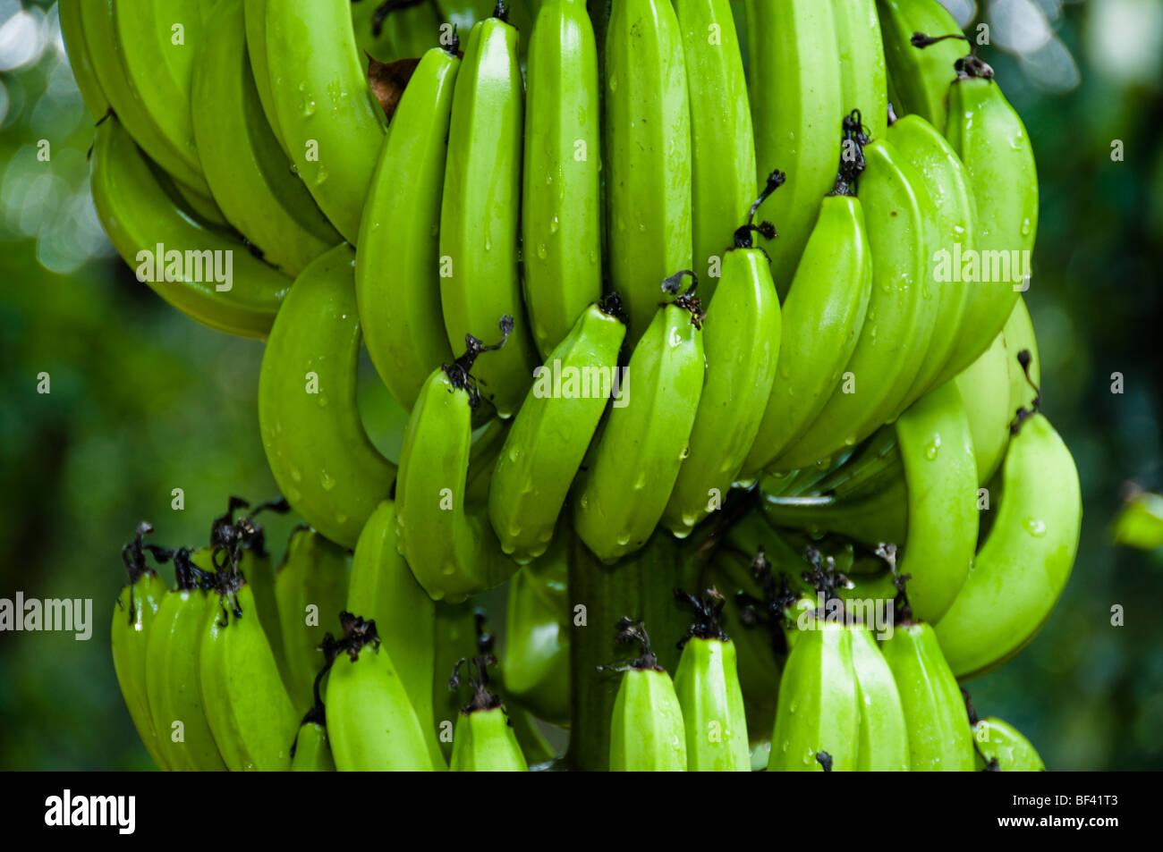 Banana tree Musa spec - Stock Image