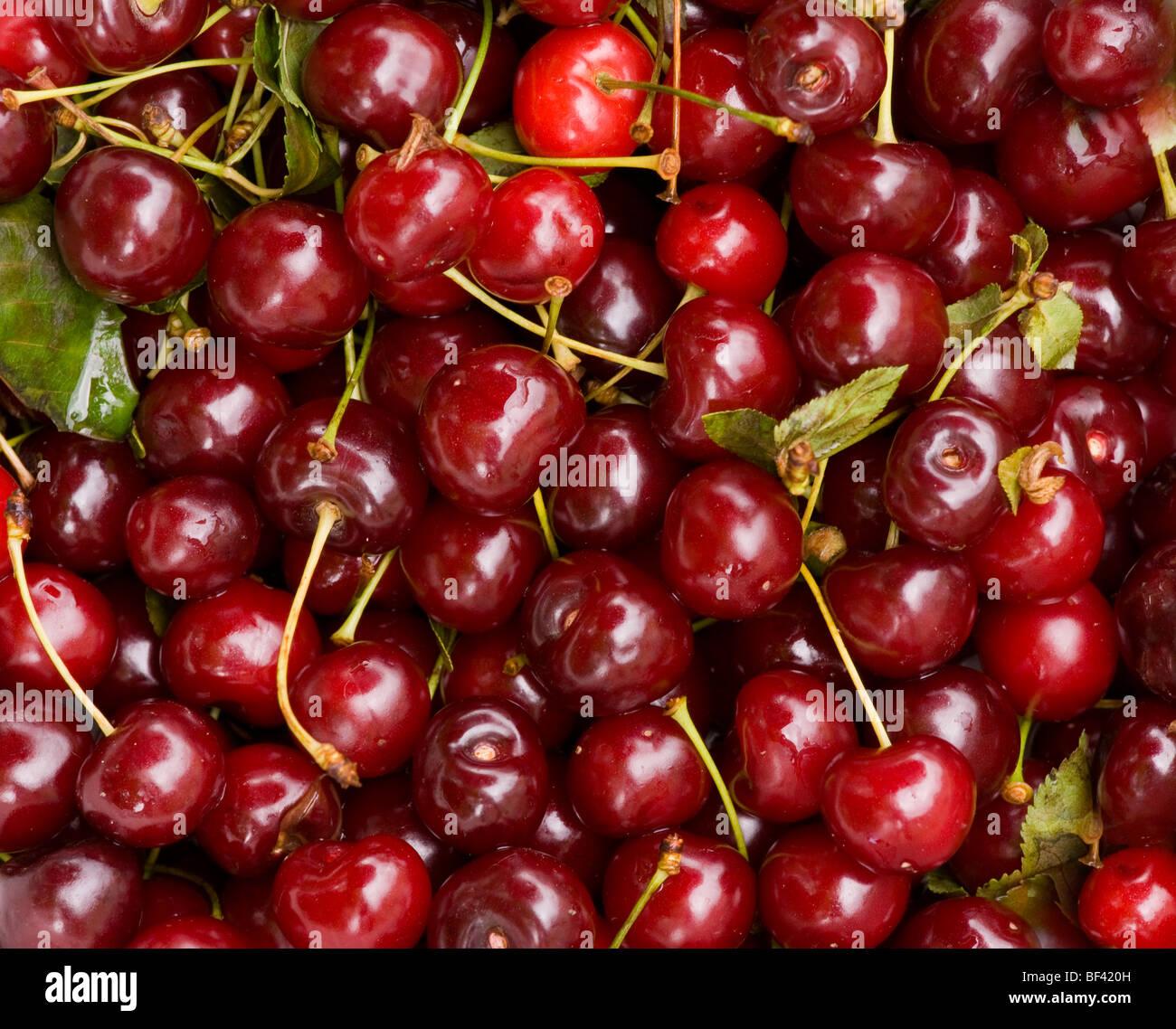 Bowl of sour, or Morello, cherries Prunus cerasus. Romania. - Stock Image