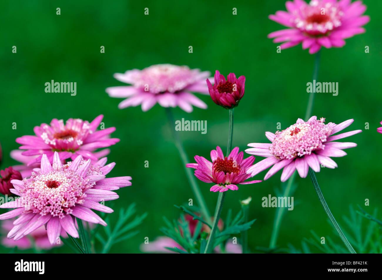 Pink Argyranthemum Flower Daisy Daisies Bloom Stock Photos Pink