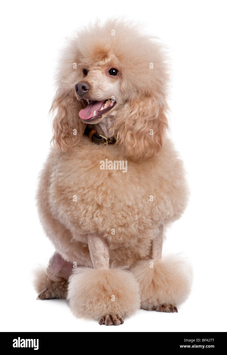 Groomed apricot poodle, 2 years old, in front of awhite background, studio shot - Stock Image