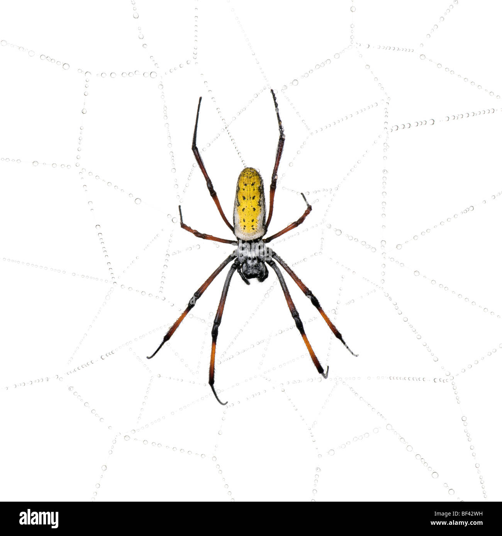 Golden Orb-web spider in spider web, Nephila inaurata madagascariensis, against white background - Stock Image