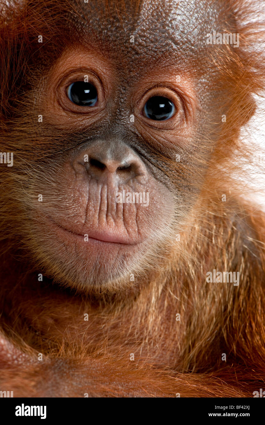 Close-up portrait Baby Sumatran Orangutang, 4 months old - Stock Image