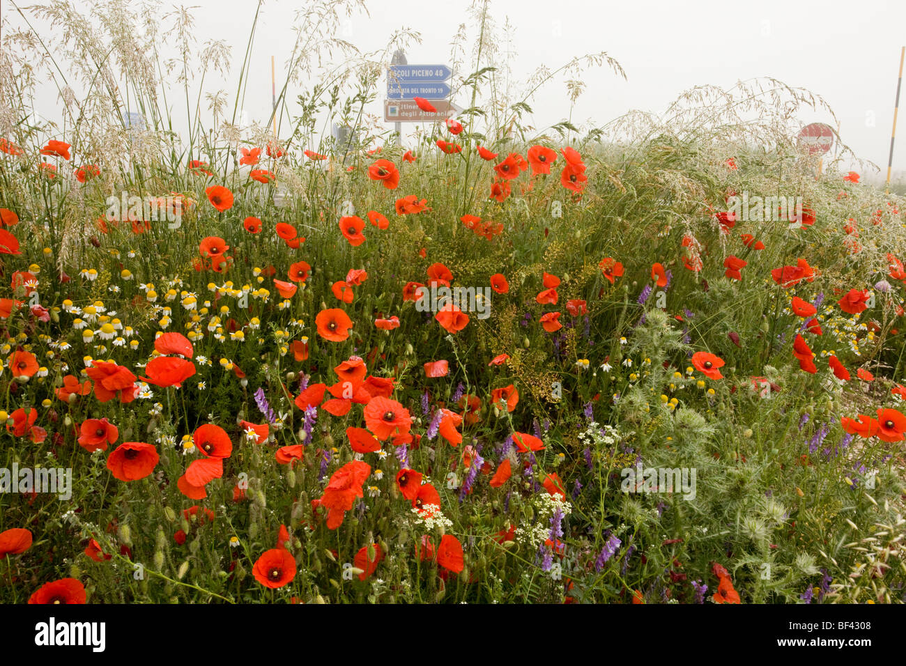 poppies Papaver rhoeas and other cornfield weeds,- with road signs beyond - on the Grande Piano, Monte Sibillini - Stock Image