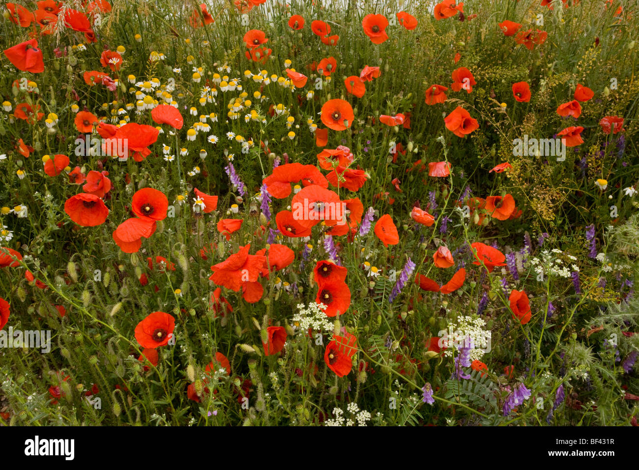 poppies Papaver rhoeas and other cornfield weeds  on the Grande Piano, Monte Sibillini Italy - Stock Image