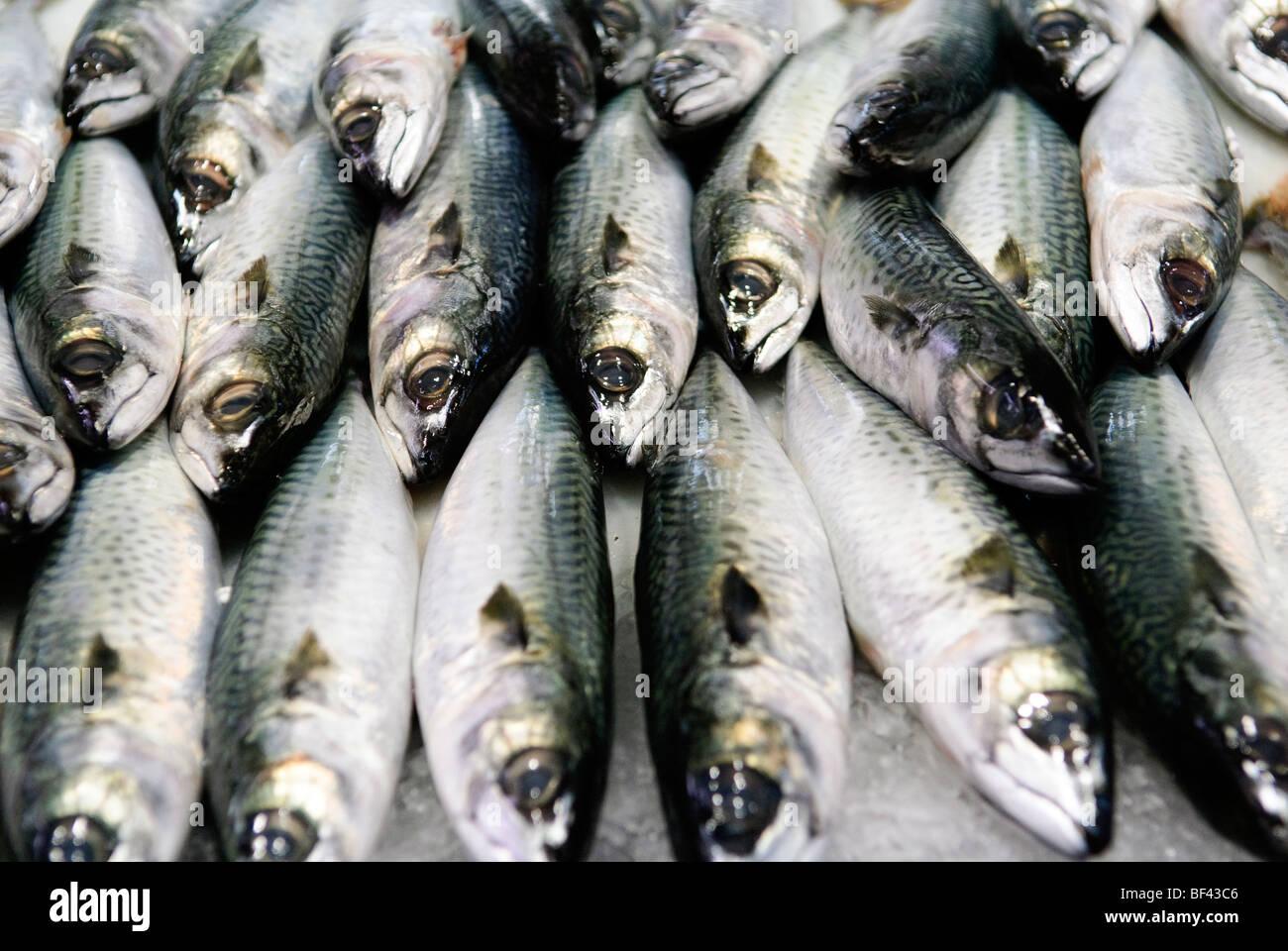 fresh mackerel on ice - Stock Image