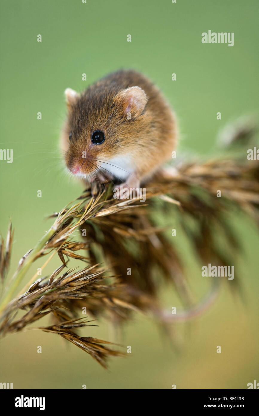 Harvest Mouse; Micromys minutus; climbing on a reed; captive Stock Photo