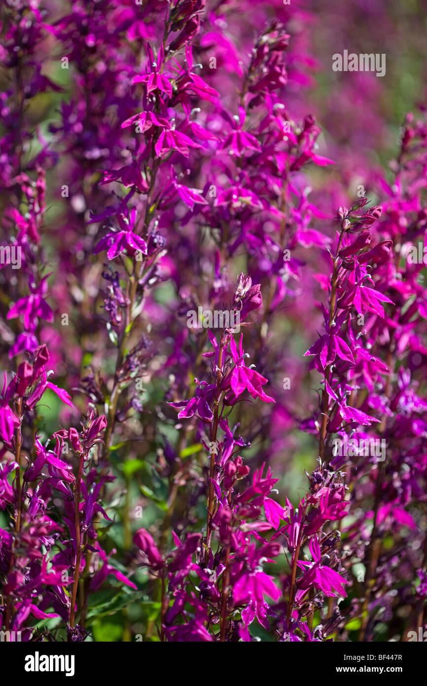 Vibrant magenta coloured Lobelia Speciosa 'Tania - Stock Image