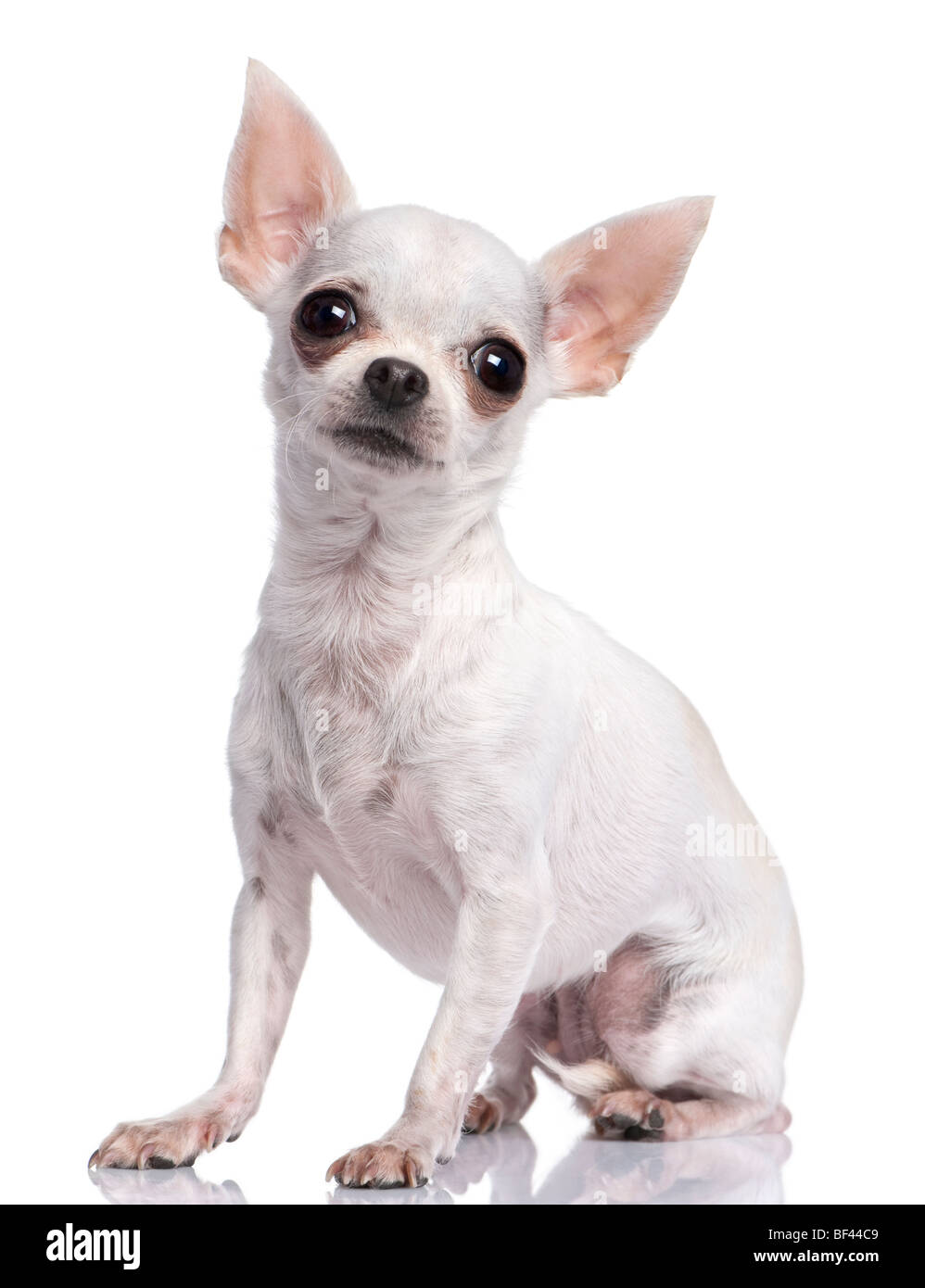 White chihuahua, 3 years old, sitting in front of a white background, studio shot Stock Photo
