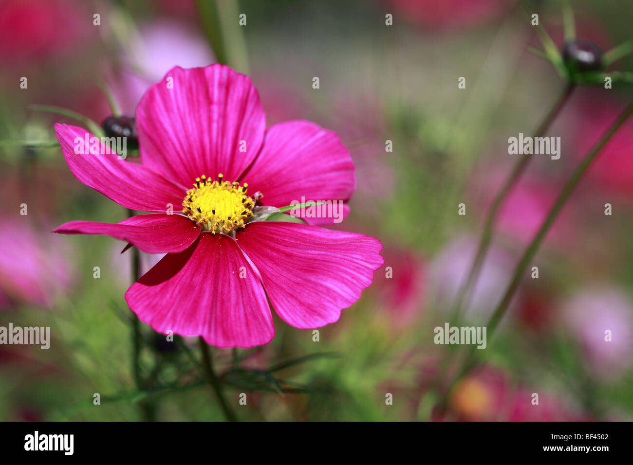 Summer border of pink Cosmos - Stock Image