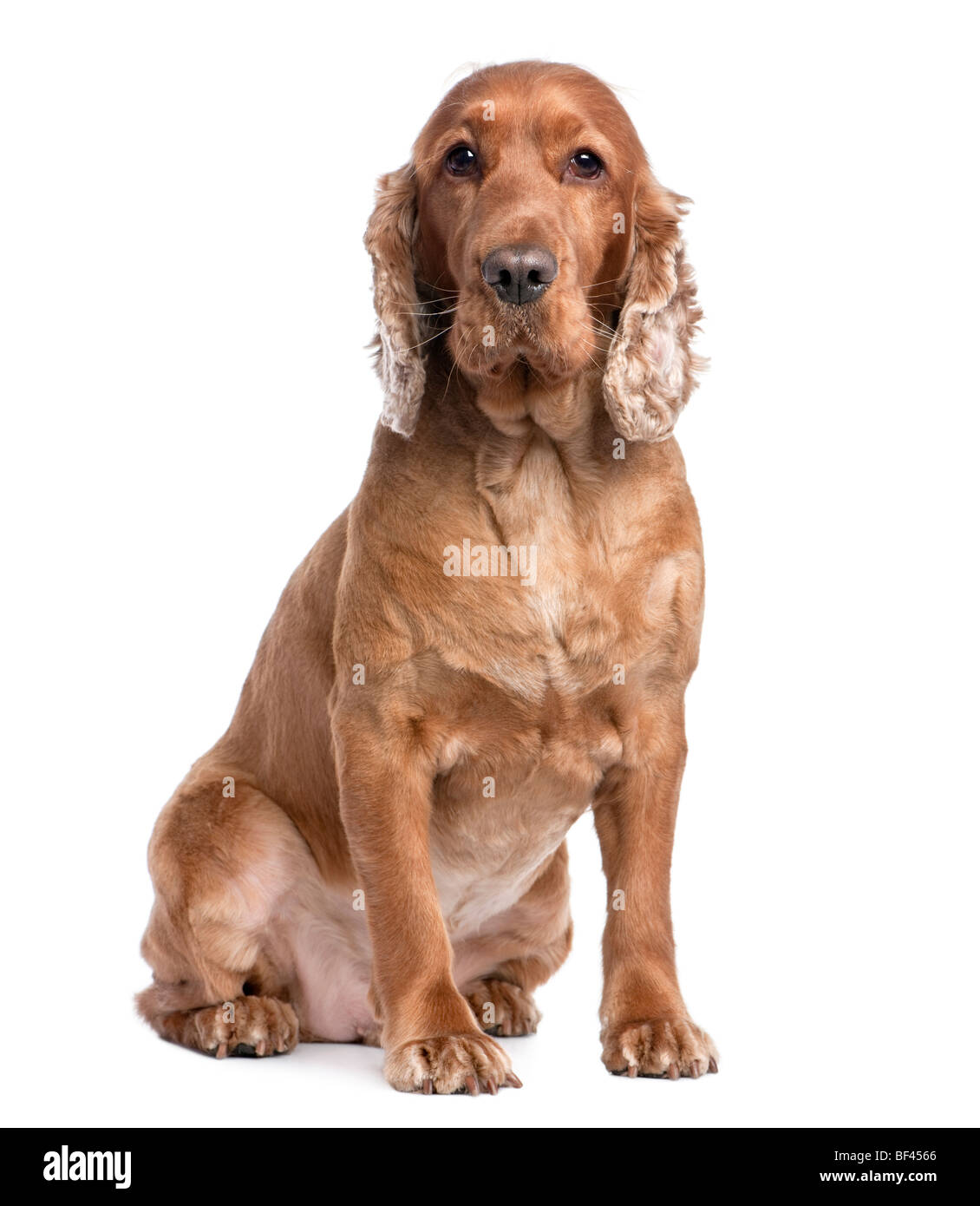 Cocker Spaniel, 3 years old, sitting in front of a white background, studio shot - Stock Image