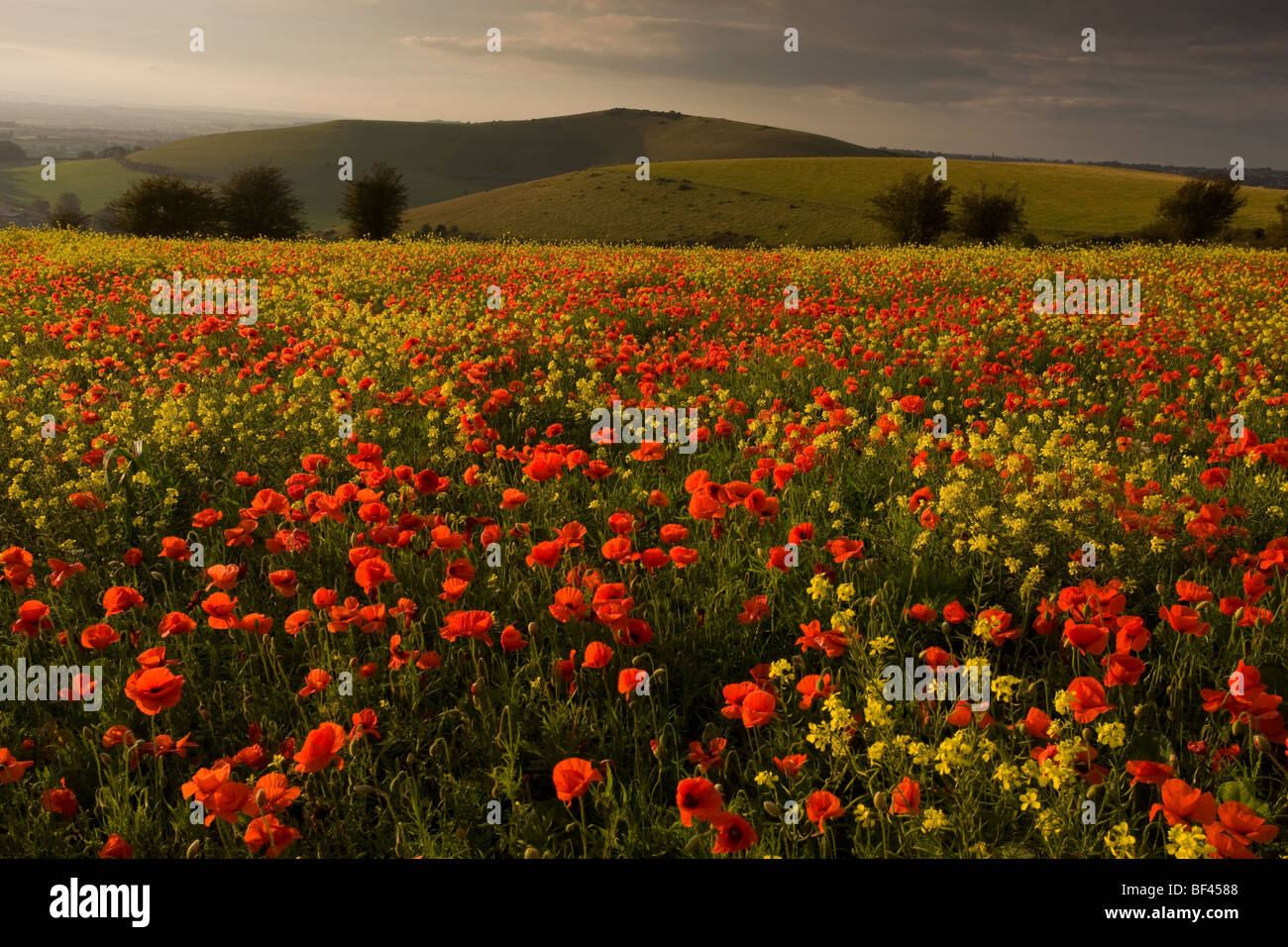 Beautiful field of Field Poppies Papaver rhoeas and turnips on the Dorset Downs, flowering in September. Fontmell - Stock Image
