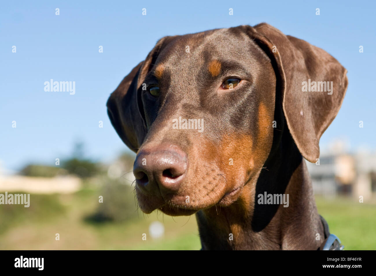 doberman pinscher head from front - Stock Image