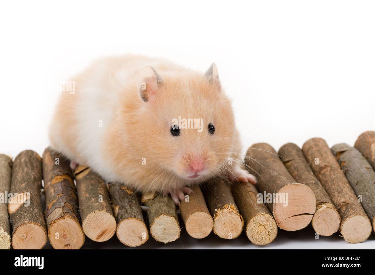 Teddy Bear Hamster Stock Photos & Teddy Bear Hamster Stock