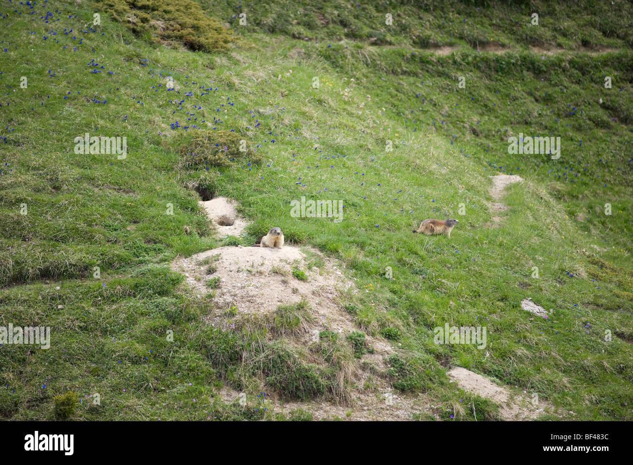 Marmot burrow on an alpine hillside with gentians - Stock Image