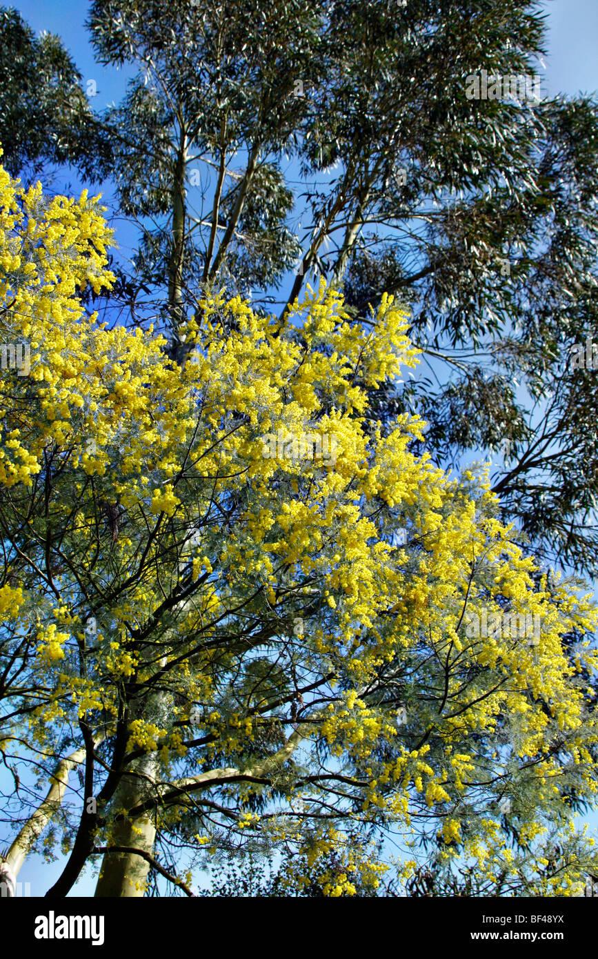 Acacia Dealbata Subalpina With Eucalyptus Coccifera At Rhs Garden