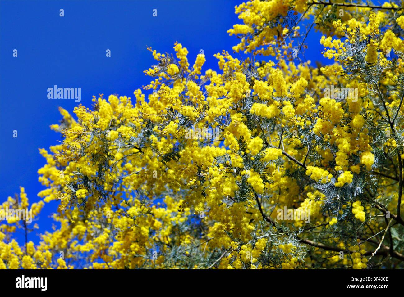 Acacia Dealbata Subalpina At Rhs Garden Rosemoor Stock Photo