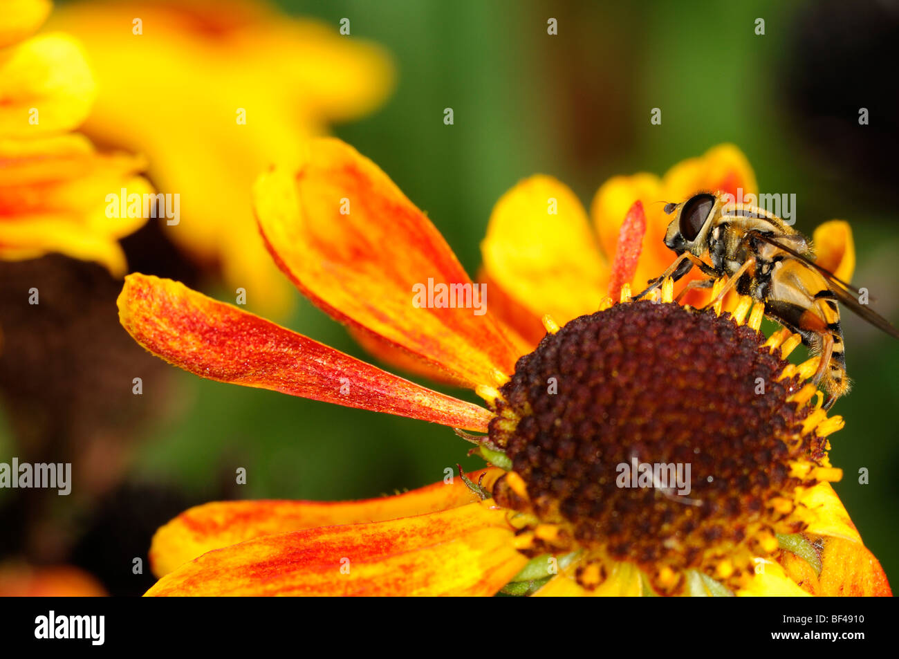 hoverfly feeding on single lone one helenium flower close up - Stock Image