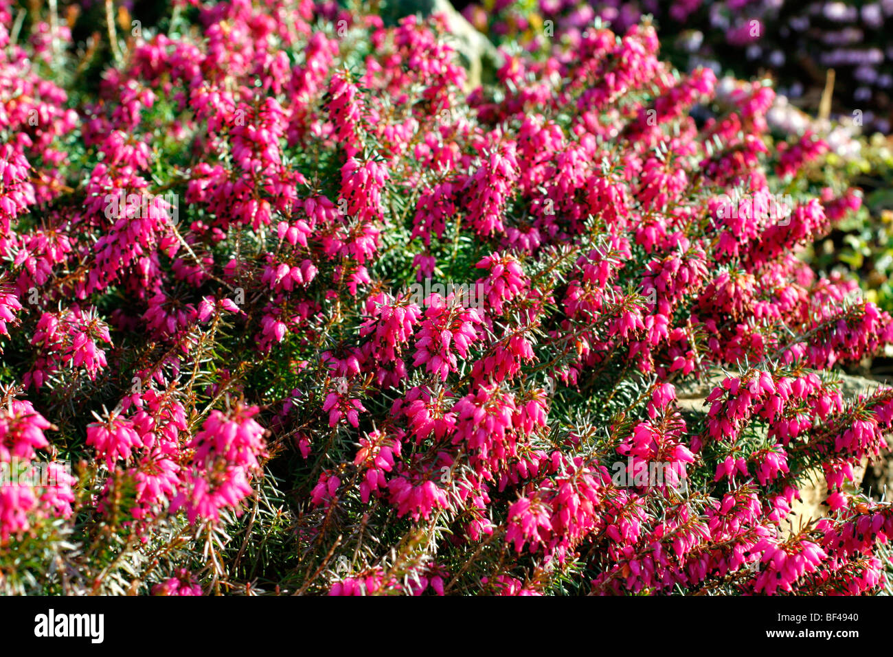 Erica carnea 'Myretoun Ruby' - Stock Image