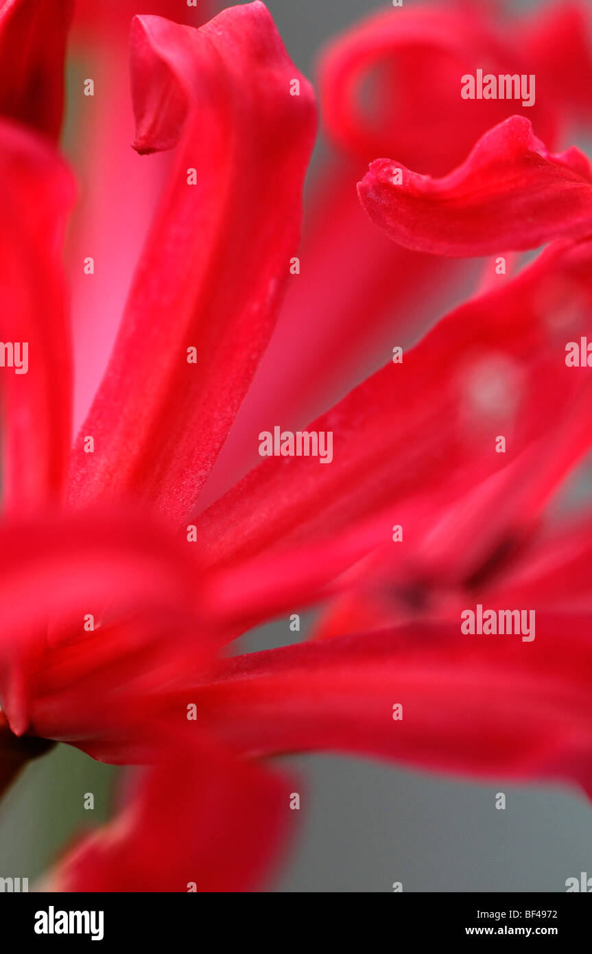 Nerine 'clare pelly' pink closeup close-up detail soft delicate flower bloom blossom diffuse - Stock Image