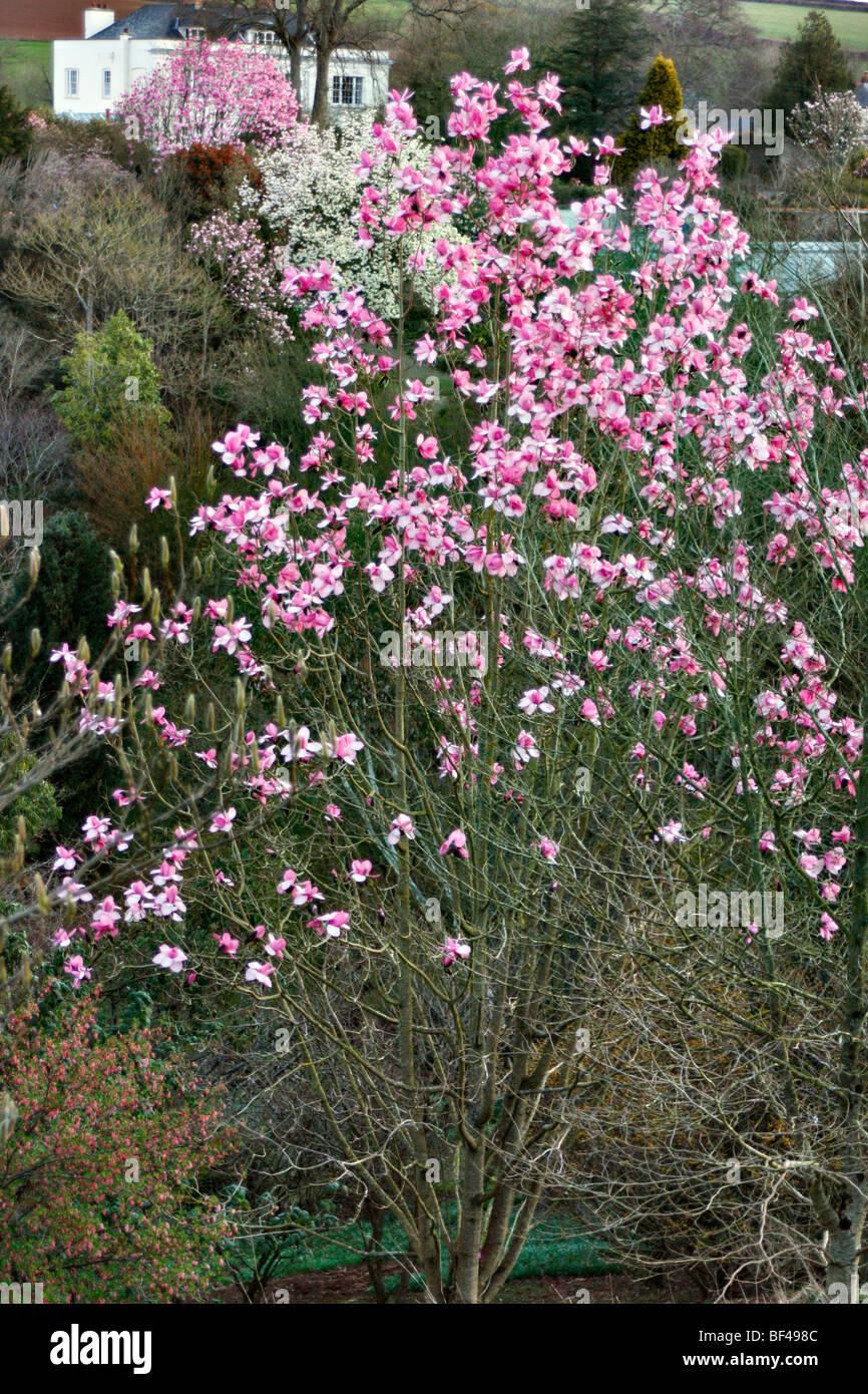 Magnolia campbellii 'Kew's Surprise' at Marwood Hill Gardens, North Devon Stock Photo