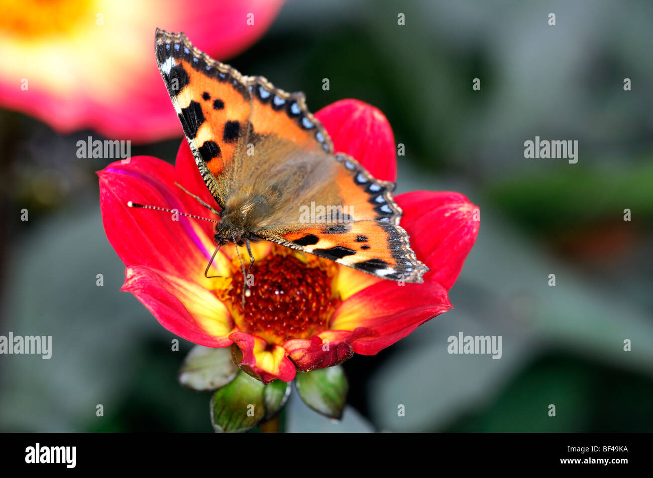 Small Tortoiseshell butterfly Aglais urticae feeding feed drink drinking nectar from Dahlia  flower bloom blossom - Stock Image
