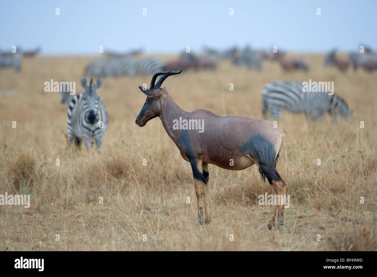 Topi, Damaliscus lunatus, looking out for preditors. Masai Mara National Reserve, Kenya. - Stock Image