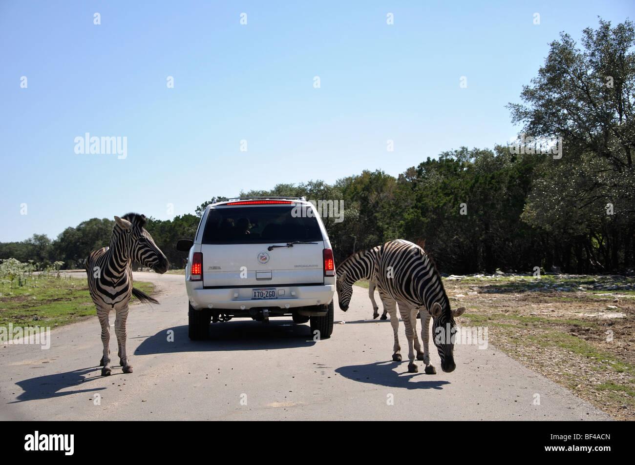 African Safari in Texas - Stock Image
