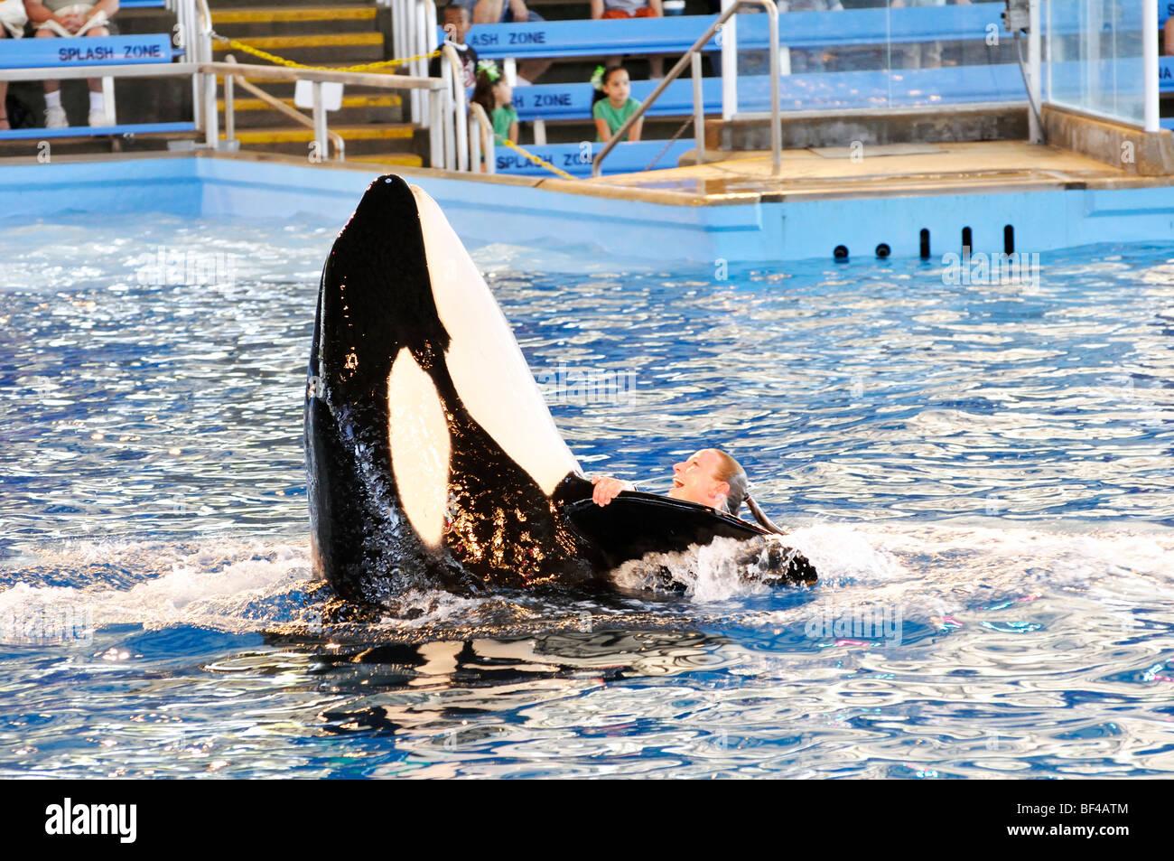 Killer Whale Show At Seaworld San Antonio Texas The Largest