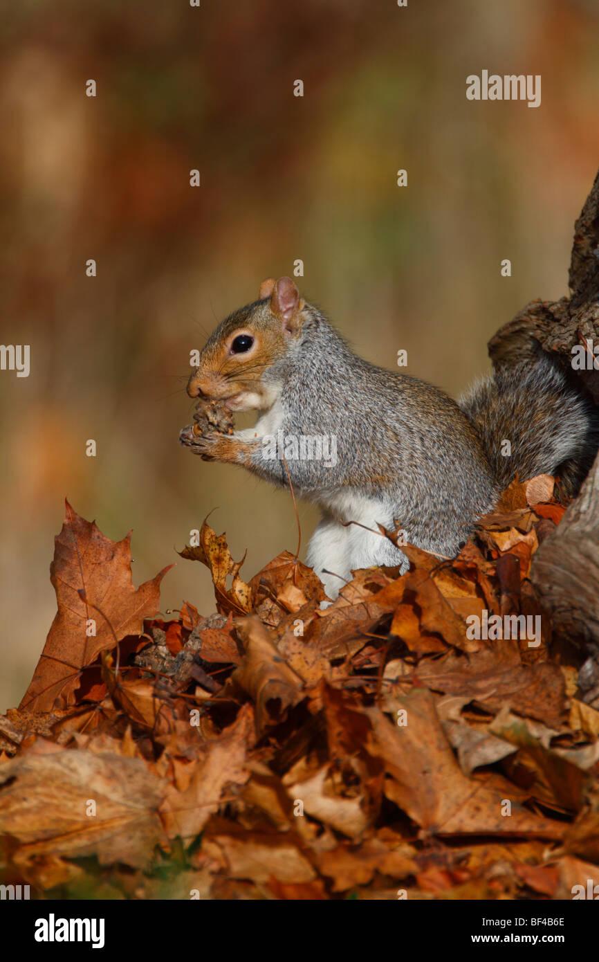 Gray grey Squirrel Sciurus carolinensis feeding in Autumn leaves - Stock Image
