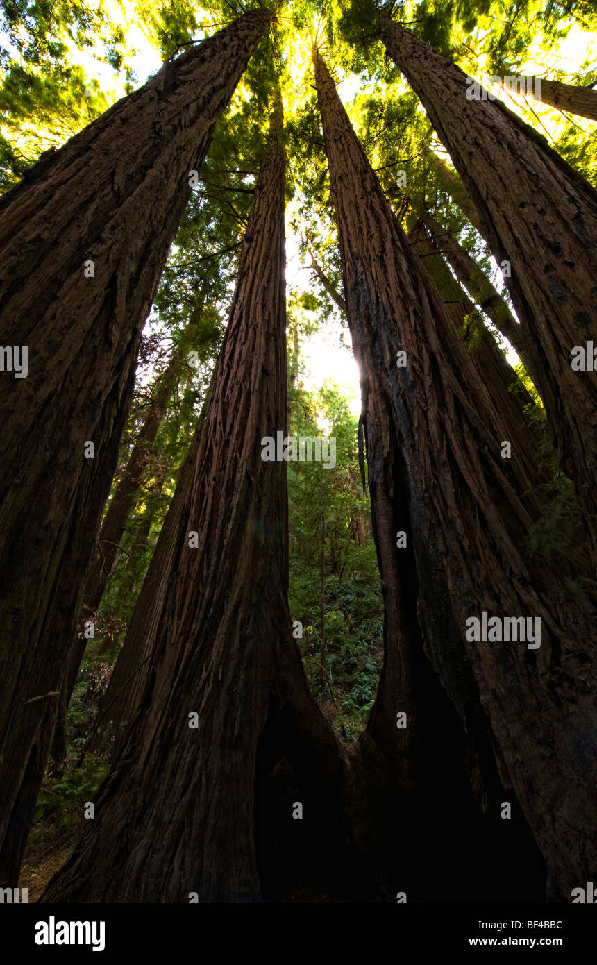 Coast redwoods (Sequoia sempervirens) in the Muir Woods, San Francisco, California, USA - Stock Image