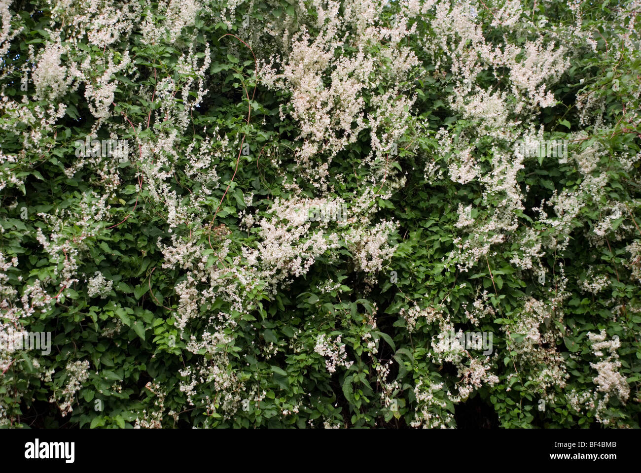 Mile-a-minute plant or Russia vine, Fallopia baldschuanica - Stock Image