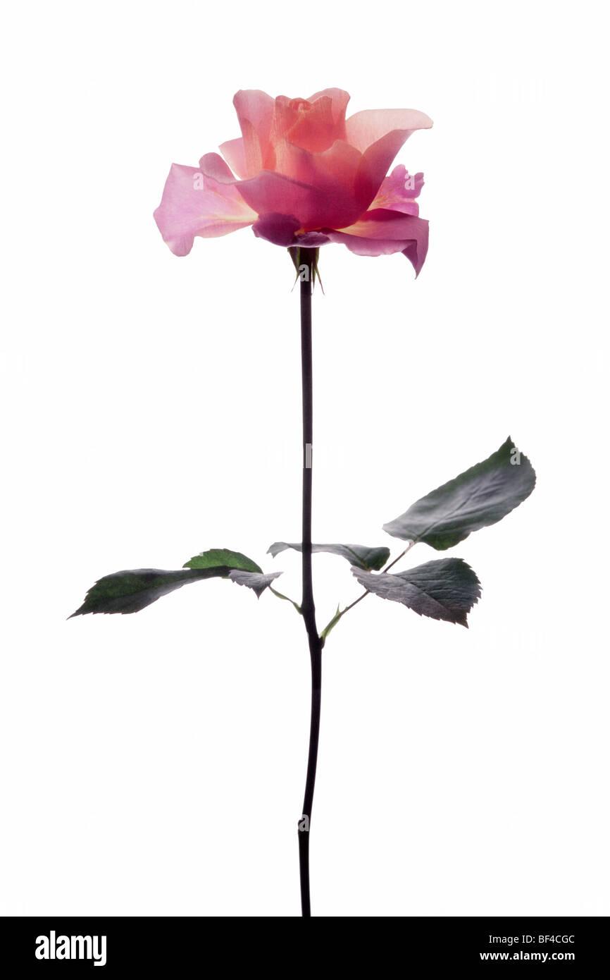 Rote Rose am Stiel - Stock Image