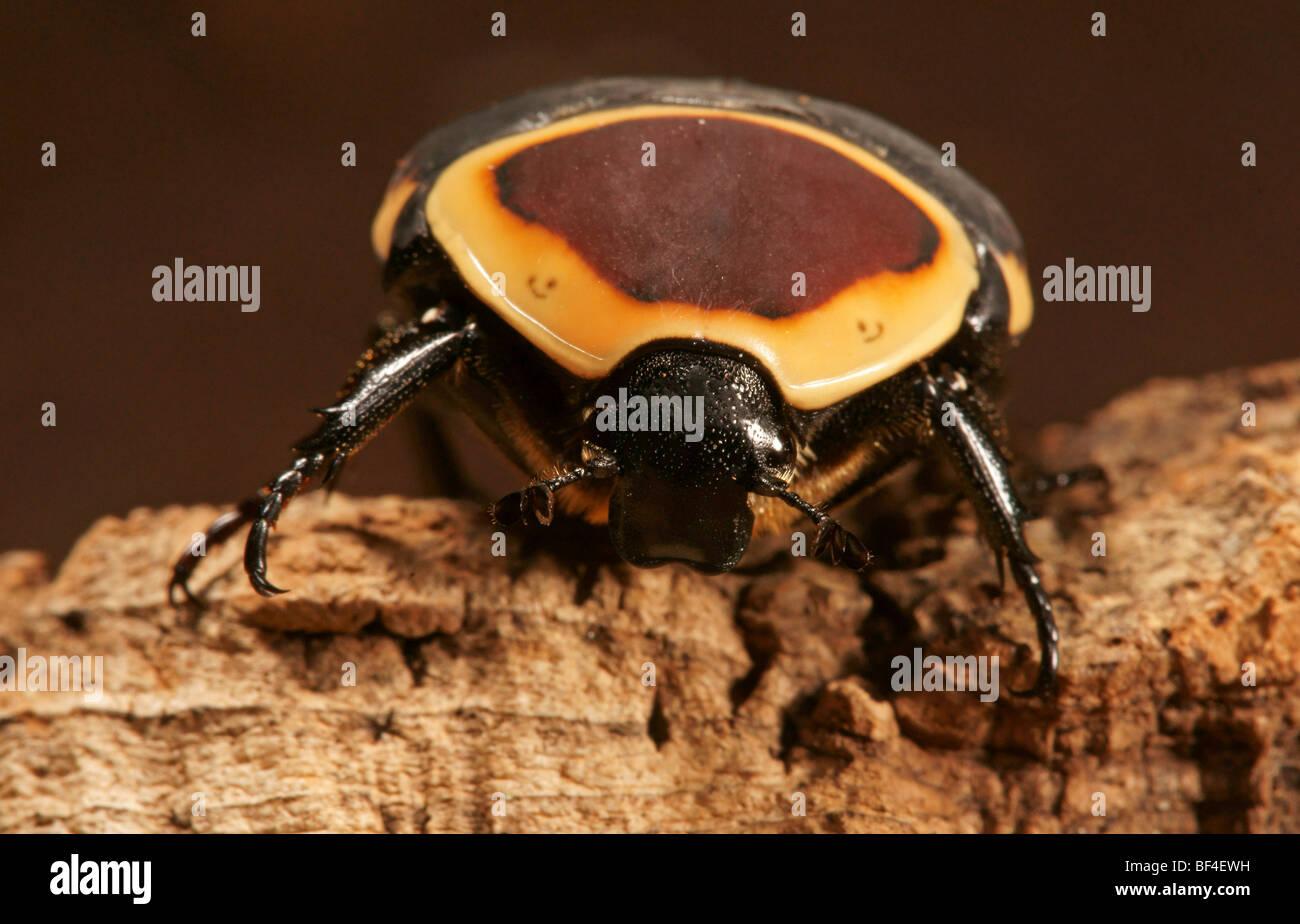 Congo Rose Beetle (Pachnoda marginata) - Stock Image