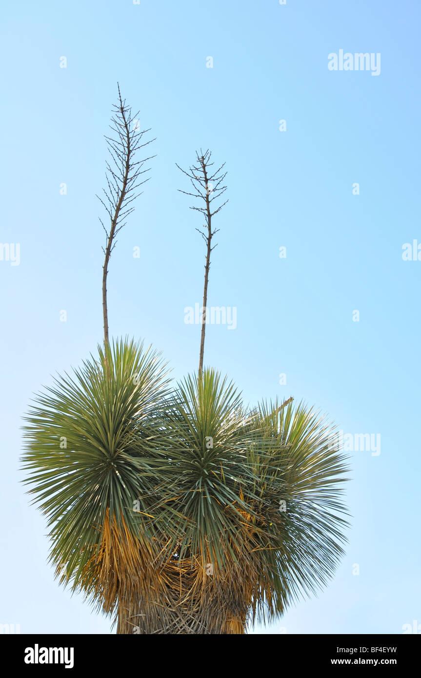 Yucca gloriosa, aka Spanish Dagger, Moundlily Yucca, Soft-tipped Yucca, Spanish Bayonet or Sea Islands Yucca - Stock Image