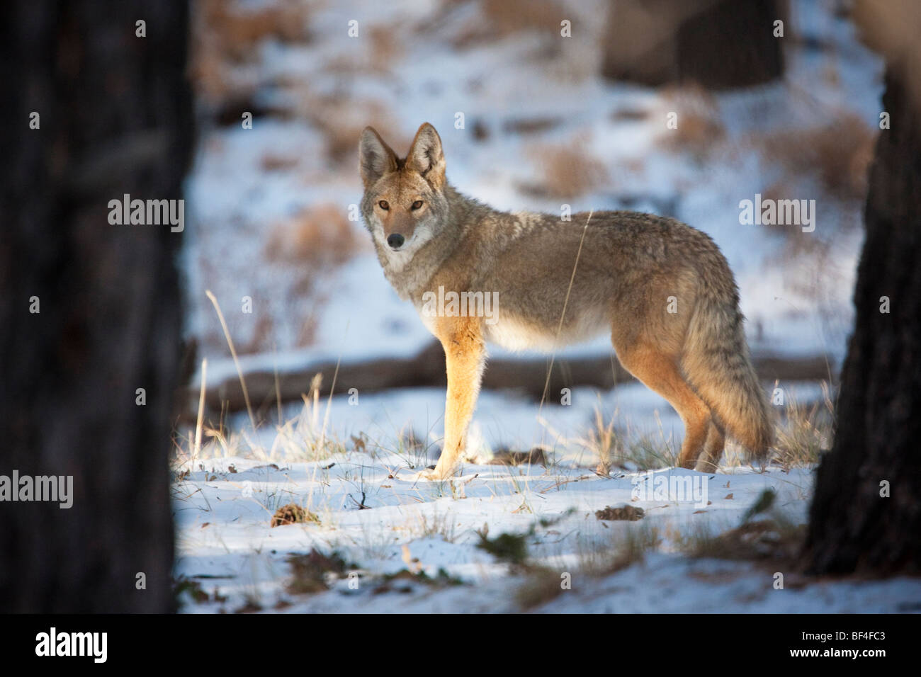 Coyote (Canis latrans) in the snow at sunrise, Grand Canyon National Park, North Rim, Arizona, USA - Stock Image