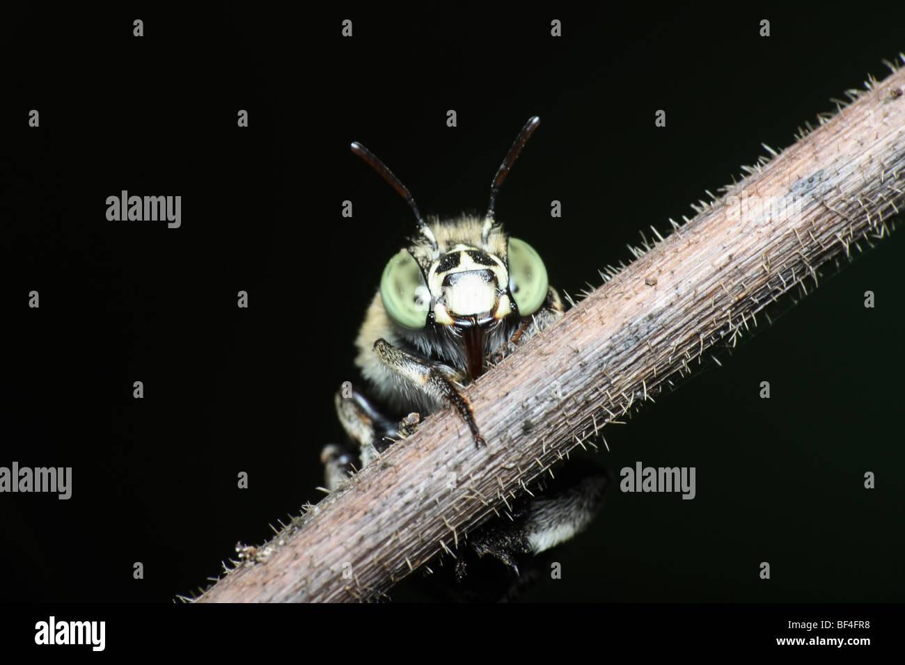 Australian Native Bee - Stock Image