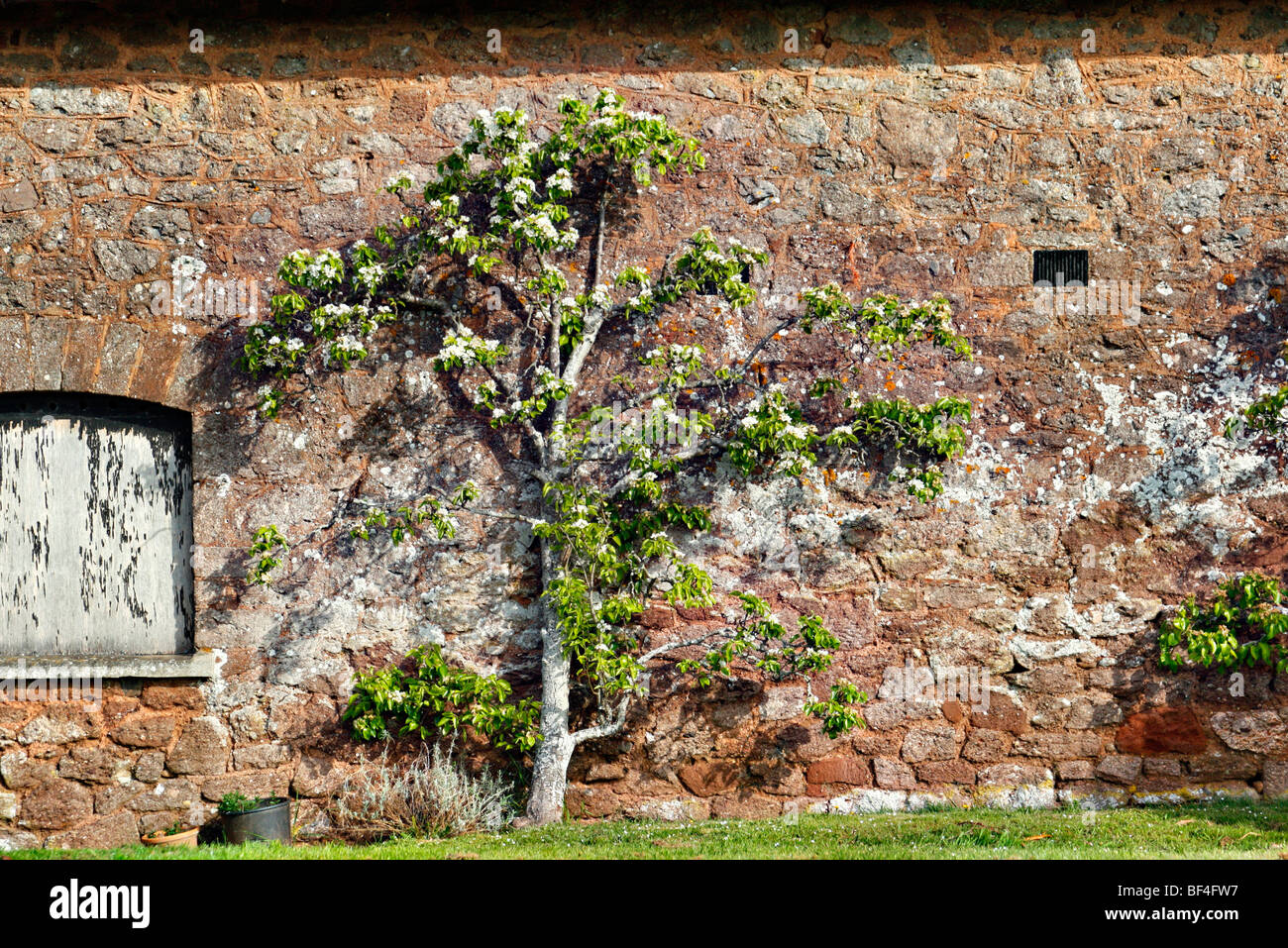 Pear trained against a South facing barn wall - Stock Image