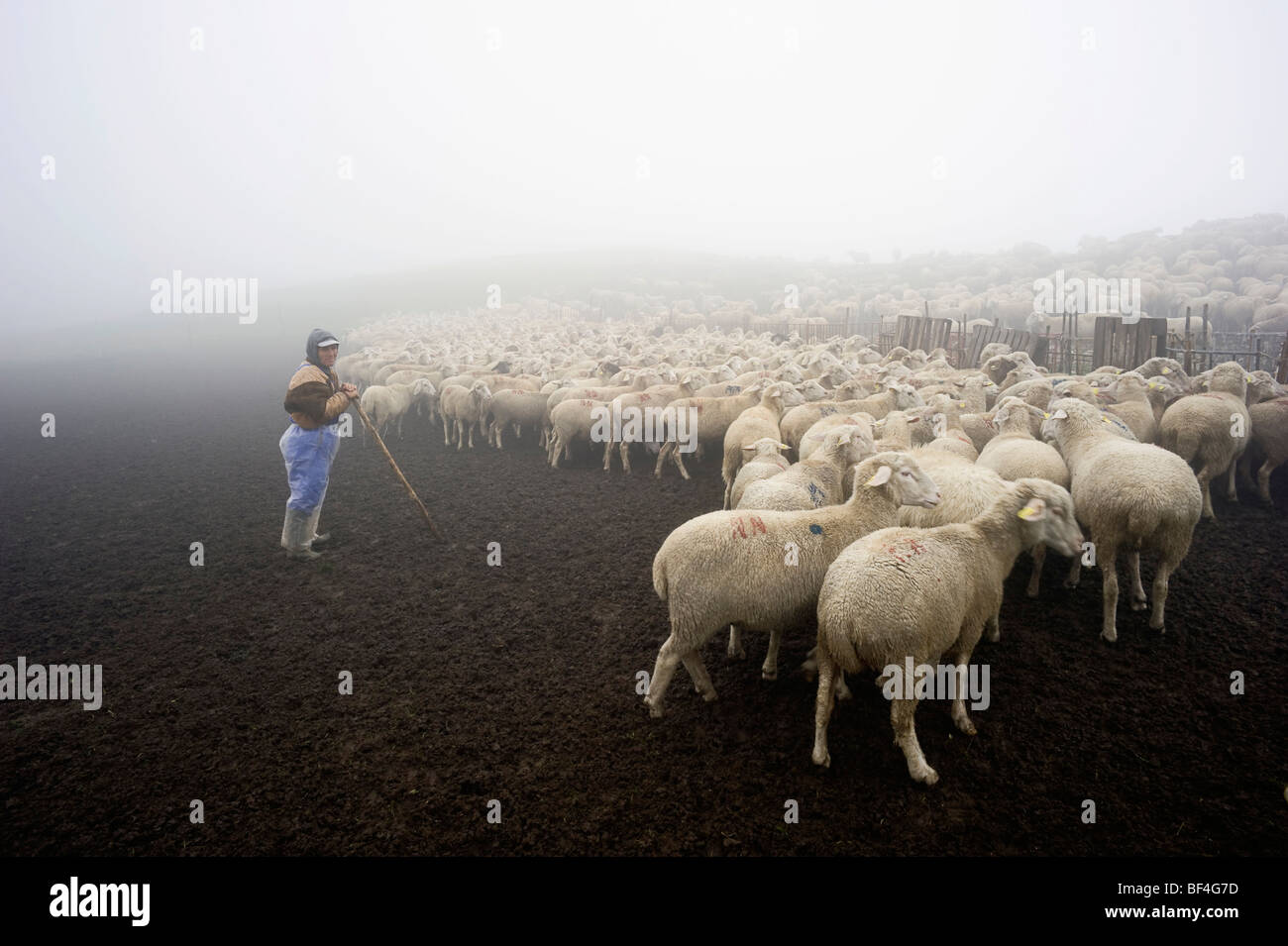 Flock of sheep in the early morning in the Monte Sibillini mountains, Apennines, Le Marche, Italy, Europe - Stock Image