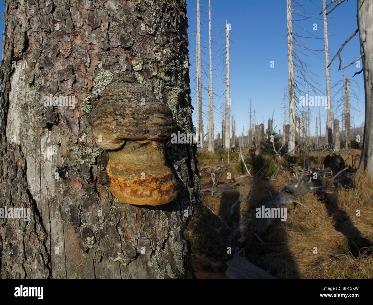 Bracket fungus on dead tree in Bavarian Forest National Park (Bavaria, Germany) These trees have been killed by - Stock Image
