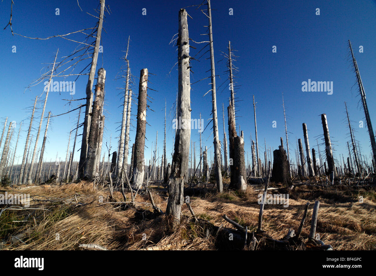 Destroyed forest in the Bavarian Forest National Park (Bavaria, Germany) These trees have been killed by the bark Stock Photo