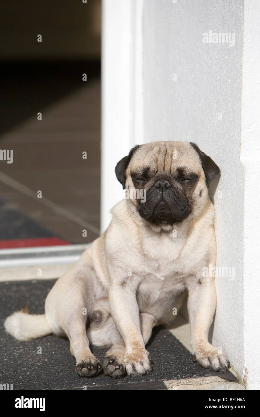 A young pug is sleeping in a doorway in the sun - Stock Image