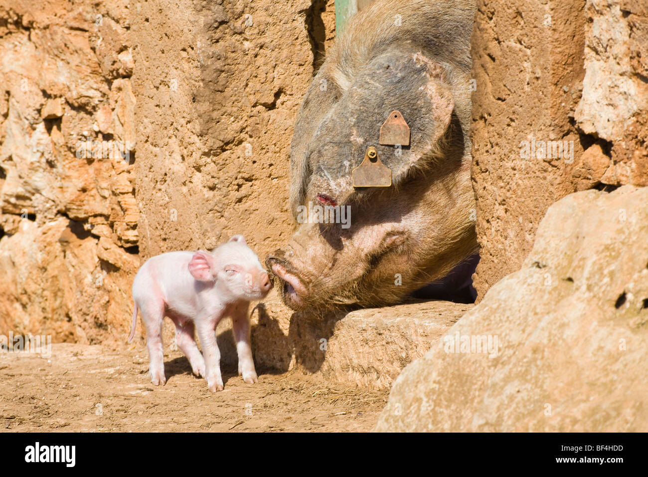 Domestic pig (Sus scrofa domesticus) piglet, mother with young, Mallorca, Majorca, Balearic Islands, Spain, Europe - Stock Image