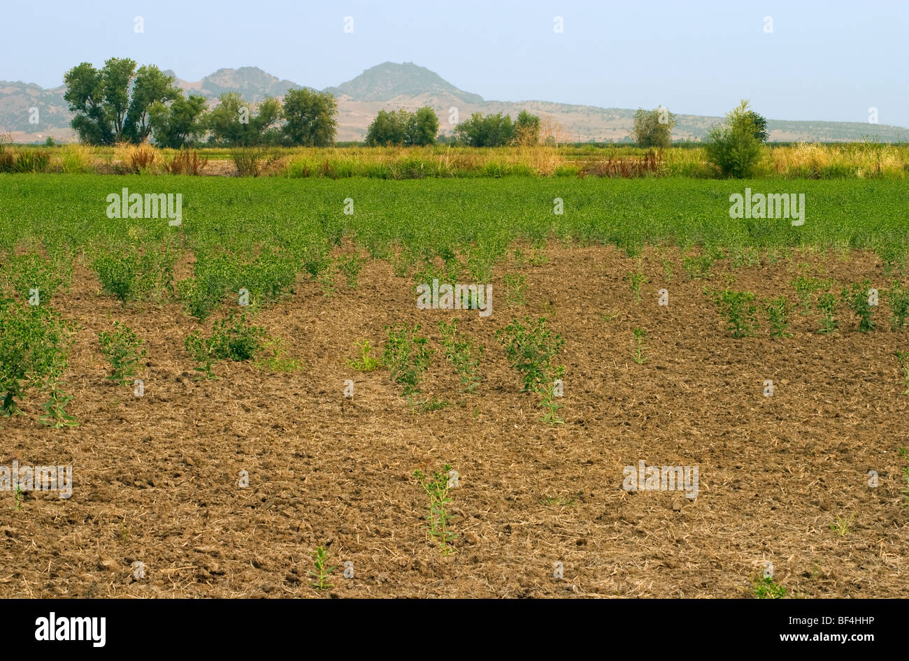 A dryland safflower crop that was dependent on spring rain that didn't arrive for germination suffers from drought - Stock Image